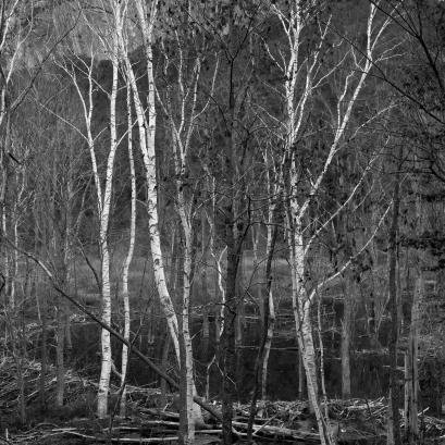 Birch Bog, Pike, New Hampshire