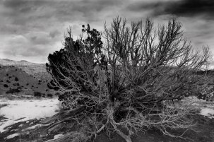 Desicated Juniper Tree, Ghost Ranch, Abiquiu, New Mexico