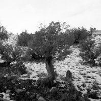 Juniper Tree, Ghost Ranch, Abiquiu, New Mexico