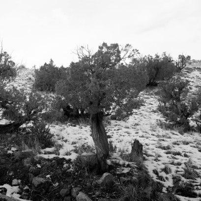 Juniper Tree, Ghost Ranch, Abiquiu, New Mexico