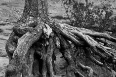Tree Roots, Kasha-Katuwe Tent Rocks National Monument